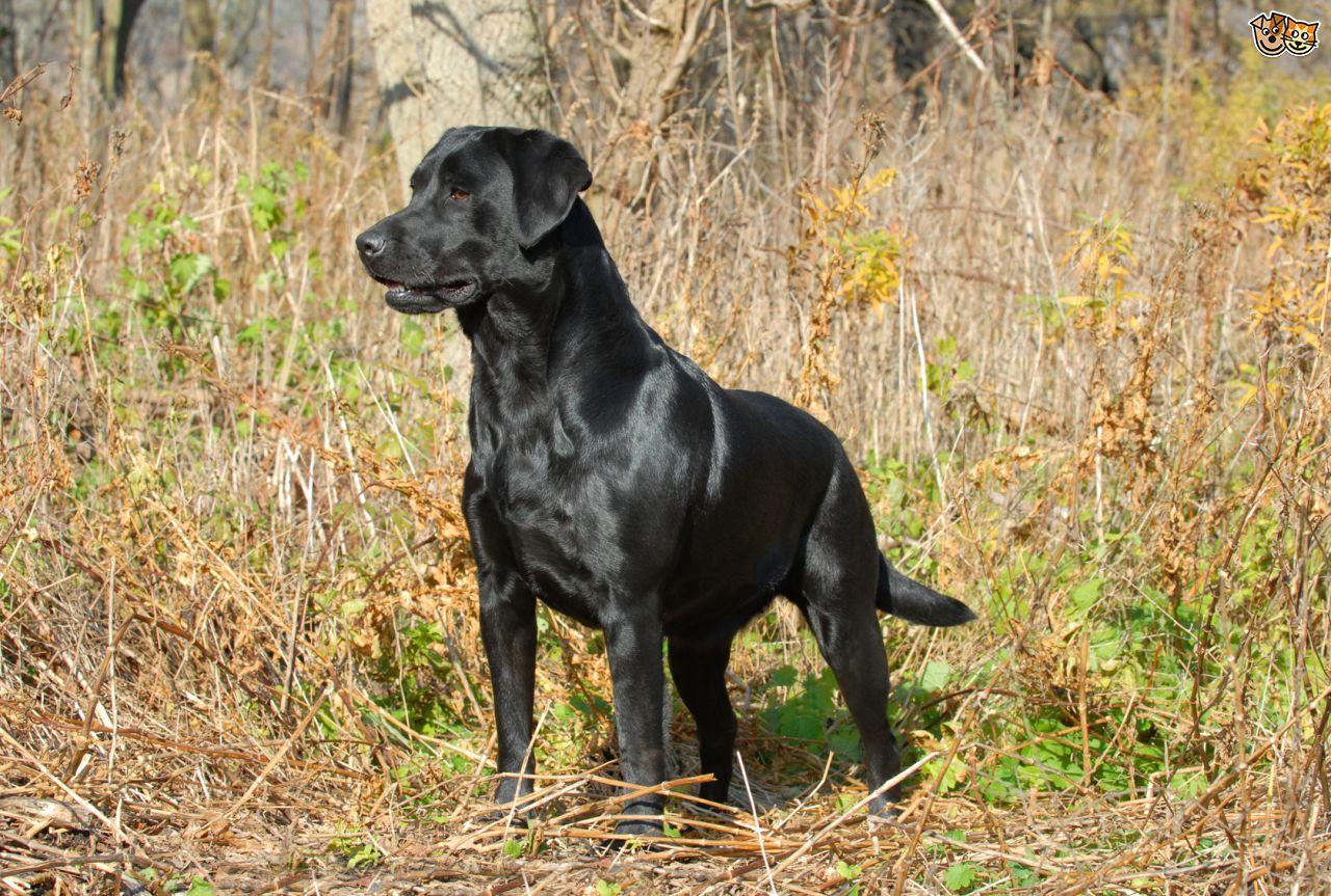 Labrador Retriever - Happy Pet Stories