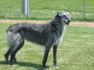 scottishdeerhound