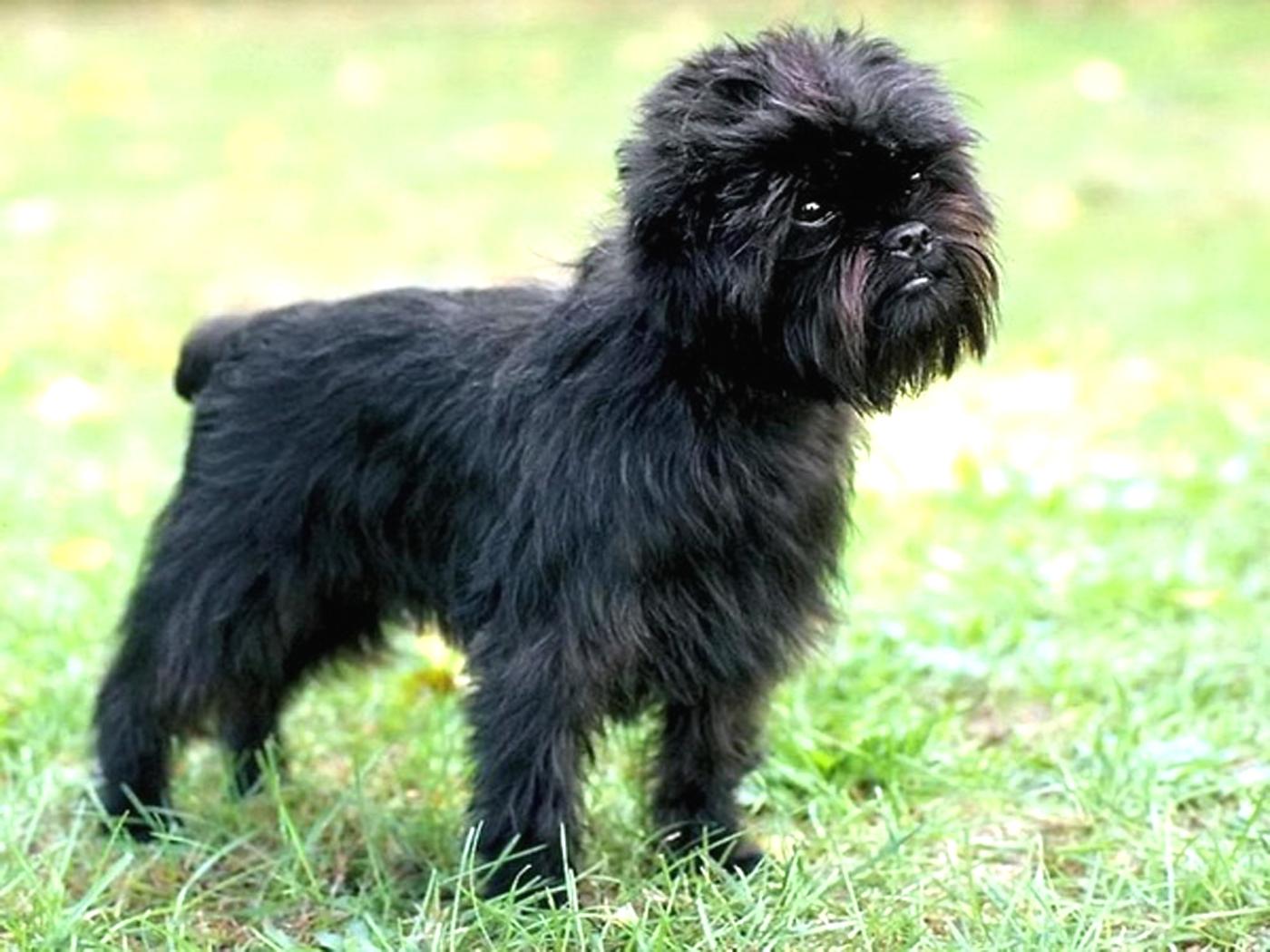 affenpinscher dog breeds happy pet stories