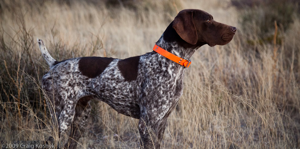 German Shorthaired Pointer - Happy Pet Stories