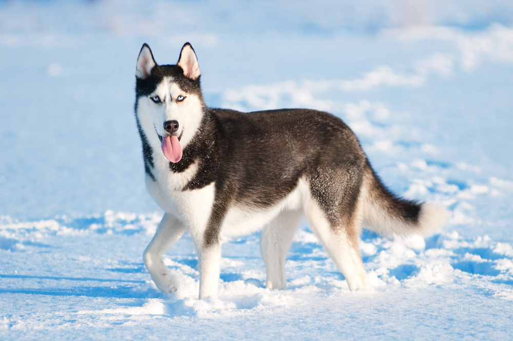 Siberian Husky Happy Pet Stories