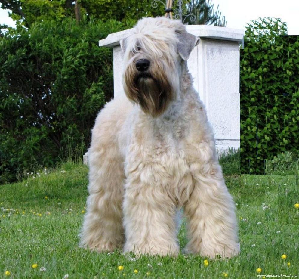 soft coated wheaten terrier shedding soft coated wheaten terrier happy pet stories 7104