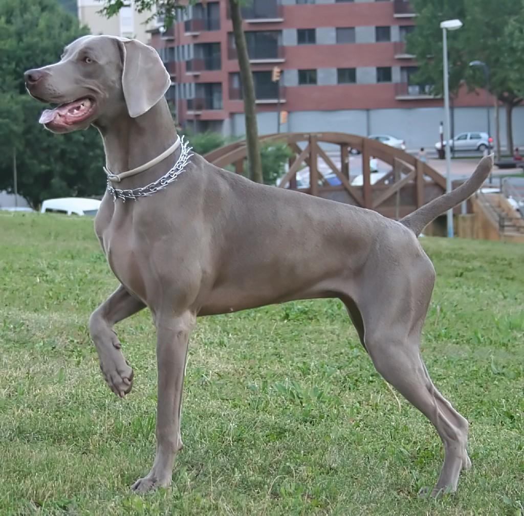 Best Large Dog For Indoors
